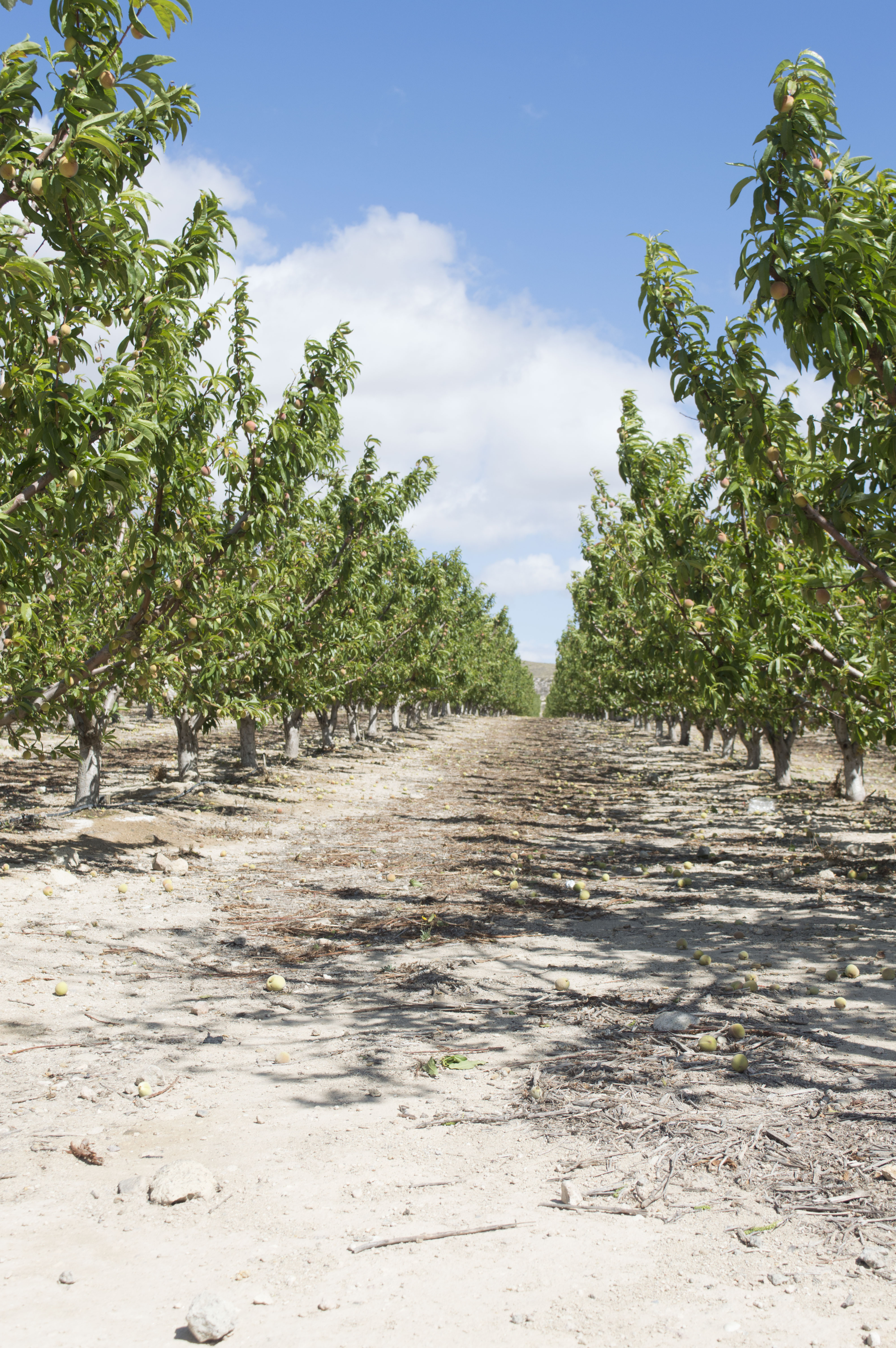 Part of the nectarine plantation and SICS trials on reduced irrigation. Photo credit: Jane Mills