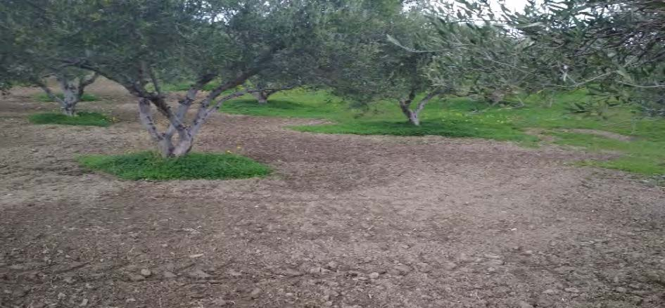 Olives tilled