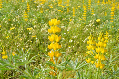 Yellow lupin cover crop