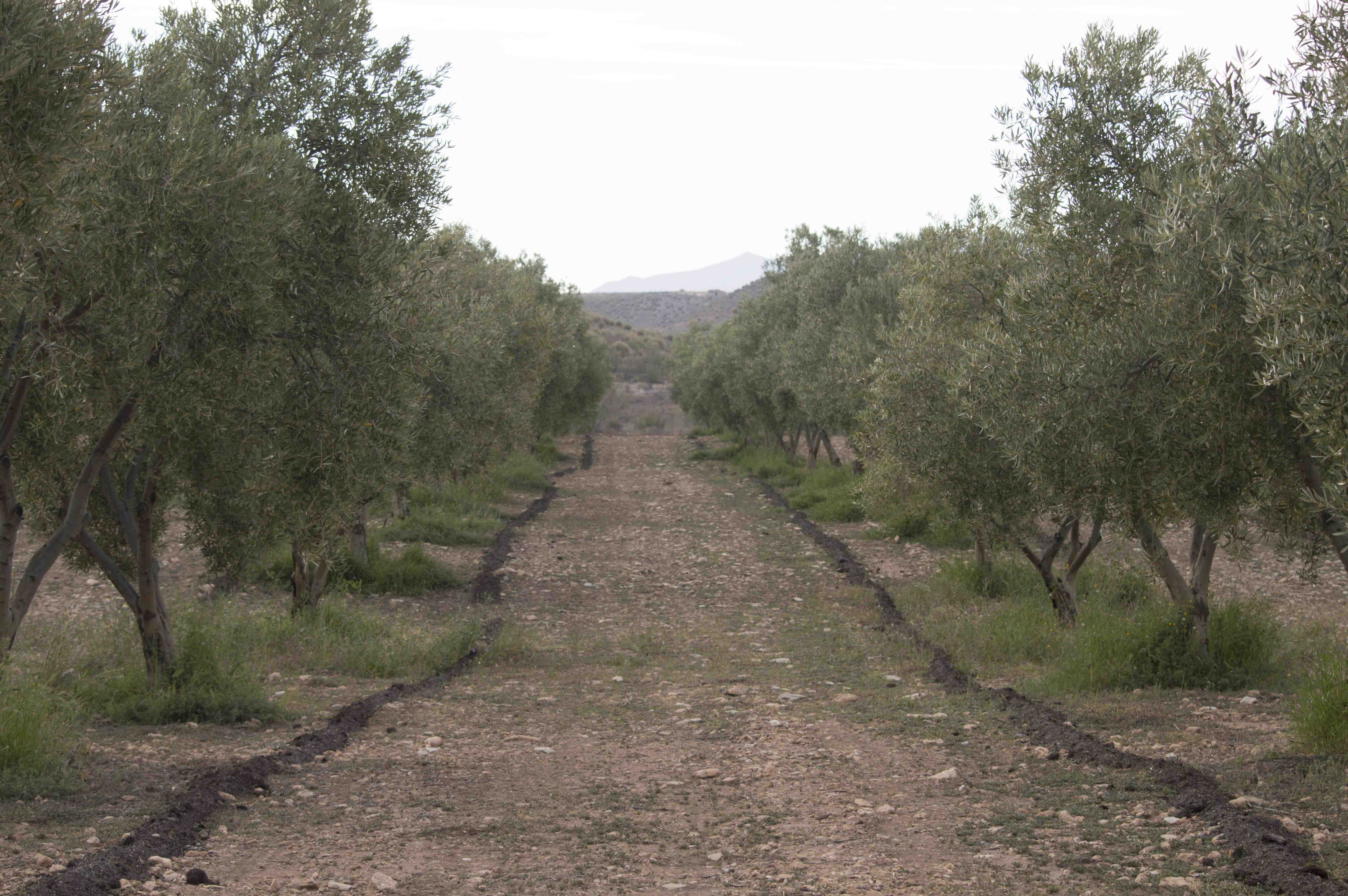 OliveOrchard3lowres